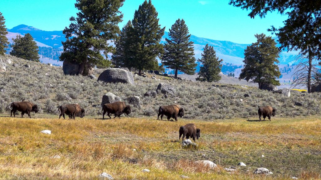 Wild Bison in Yellowstone